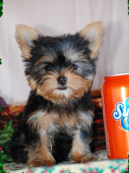 Pure Bred Yorkshire Terrier Puppies For Sale For Sale In Luton