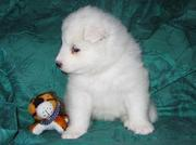 Special samoyed puppies for sale